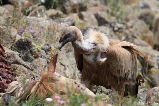Gändegeuier (Gyps fulvus) in Vulchi Dol. Foto: Emiliya Toncheva. CC-BY-SA-4.0