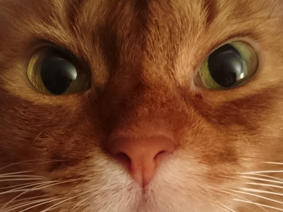Close up of female somali cat in sorrel. Foto: Incabell. Lizenz: CC-BY-SA-4.0