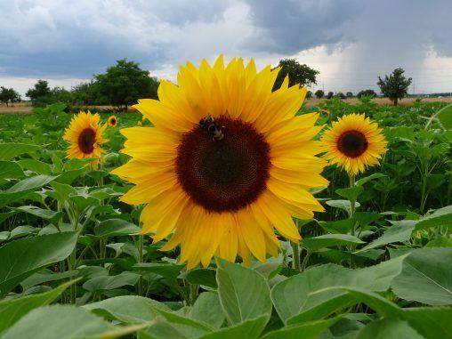 Drei Sonnenblumen im Feld. Foto: 3268zauber. Lizenz: CC-BY-SA-3.0