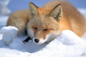 Nordfuchs, japanische Unterart des Rotfuchses im Schnee auf Hokkaido, Japan. Foto: Shiretoko-Shari Tourist Association. Lizenz: Attribution